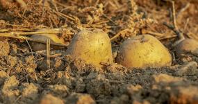 Jak skladovat brambory, aby zůstaly dobré